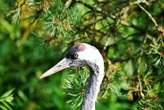 Common Crane (Glenn Pye) Tags: commoncrane crane birds bird wildlife nature martinmere wwt nikon nikond3000 d3000