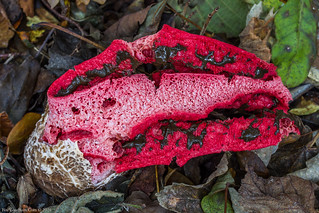 Devil's Fingers (Clathrus archeri)