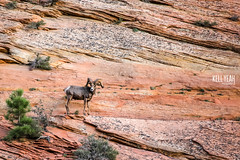 2016_09_western_vacation_Zion-2 (KellYeahPhotography) Tags: animals antelopecanyon arches arizona beautiful bighornsheep blackcanyon bluemesa boating boxcanyon camping cascadefalls clearlake colorado colors concerts deadhorsepoint denver desert devilmakesthree dogs fall family flowers fourcorners grandcanyon hiking horseshoebend huskies icelake kellyeah knox lakepowell landscapes livemusic love lupa mesaverde moab mountains nationalparks nature newmexico ouray outdoors outside redrocks scenery shakeygraves slotcanyon stars steve summer sunset sunshine trees utah vacation waterfalls west woodbrothers zion