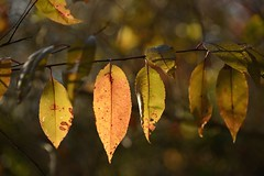 shades of gold (courtney065) Tags: nikond800 nature landscapes leaves autumleaves autumn fall trees foliage bokeh depthoffield gold golden serene artistic texture pattern organicpattern