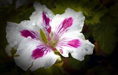 -- (roberke) Tags: bloem flower fleur flor closeup bladeren raindrops regendruppels nature natuur garden tuin petals outdoor