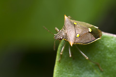 Coathisa (Eric Gitonga) Tags: 32x48 ericgitonga kenya nature macro arthropods phylum kingdom arthropoda animal animalia segment segmented head abdomen legs mouth eyes compoundeye simpleeye instar exuvia moult exoskeleton grow develop misunderstood stinger sting egg fertilization sperm female male nairobi njathaini pickengardensestate northernbypass insect insecta thorax 6legs sixlegs wings flight crawl antenna