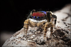 madelineae vari (GTV6FLETCH) Tags: macro manualfocus maratus mpe65mm maratusmadelineae peacockjumpingspider peacockspider westernaustralia canon canoneos5dmark2 canonmpe65 canonmpe65mm15xmacro focusstack salticidae spider