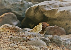plover (joybidge) Tags: trishcanada naturepatternscanada mauihawaii birds bird
