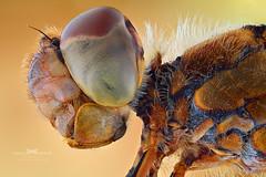 Dragonfly. (Ireneusz Irass Waledzik) Tags: schneider kreuznach wa componon 40mm f4 irass insects insect nikond7100 digitalcamerapolska closeup stack schneiderkreuznach dragonfly nikon nature nationalgeographic ngc zerenestacker magazine wacomponon