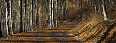 the bend (mamuangsuk) Tags: thebend windingroad forestroad fallcolors autumncolours fallenleaves dreamyforest jura routedeforet virage sinueux curve curva feuillesmortes redleaves forestinautumn 6d ef135mmf2lusm stitchedpanorama mamuangsuk