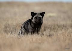 Silver Fox Vixen (T0nyJ0yce) Tags: redfox wild animals silverfox mammals wildlife fox vixen carnivore vulpesvulpes foxes canon7dmarkii tamron150600 explore