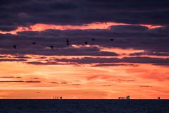 By Air And By Sea (gseloff) Tags: brownpelican silhouette bird bif wildlife sunrise shoreline ship clouds surf bolivarflatsshorebirdsanctuary houstonaudubonsociety galvestoncounty texas gseloff