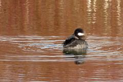 Bufflehead, f. (Delta Naturalists Casual Birding) Tags: 201414 dncb colony dncblocation