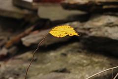 Leaf (historygradguy (jobhunting)) Tags: easton ny newyork upstate washingtoncounty leaf leaves fall autumn
