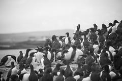 Another crowdscene (marktmcn) Tags: birds bird flock guillemots staple island farne islands northumberland northumbrian north sea coast wildlife sanctuary national trust crowd crowded clifftop vantage blackandwhite monochrome d610 nikkor
