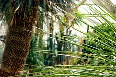 Пальмы (tatianatorgonskaya) Tags: мюнстер германия европа флора растение ботаническийсад ботаническийсадгермания ботаническийсадмюнстер чтопосмотретьвгермании достопримечательностигермании интересноевгермании europe germany german deutschland münster attraction plant