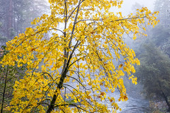Maple Yellow (Kirk Lougheed) Tags: california mercedriver usa unitedstates yosemite yosemitenationalpark autumn fall landscape maple nationalpark outdoor river tree water yellow