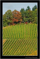Strolling around @ Baden-Baden 62 (M.J.Woerner) Tags: forest autumn wood foliage leaves woods october november laub herbstlaub autumnforest fallfoliage fallleaves herbstwald autumnfoliage forst spaziergang badenbaden hills northernblackforest rebland foothills blackforest landscape winegrowing village gallenbach gilded gold vineyard vine