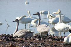 - brothers (shig.) Tags: swan swans bird birds brothers nature natural water waterside      canon eos 70d