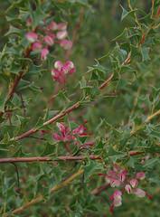 Grevillea insignis ssp elliotii, Kings Park, Perth, WA, 02/09/16 (Russell Cumming) Tags: plant grevillea grevilleainsignis grevilleainsigniselliotii proteaceae kingspark perth westernaustralia