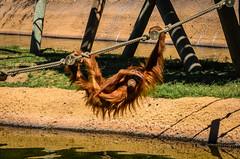 Orang tang (_Rjc9666_) Tags: jardimzoologico lisboa lisbon lisbonzoo lisbonne nikkor55200mm nikond5100 orangutan portugal wildlife zoo orangutang primate ©ruijorge9666 pt inexplore 1620 160