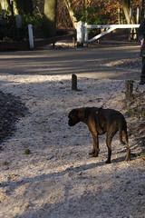 Wandeling Gele Route Oisterwijk 04-12-2016 (marcelwijers) Tags: wandeling gele route oisterwijk 04122016 noord brabant nederland niederlande netherlands bos paybas wanderung wald wood winter winterse landschap natuurmonumenten wandeltocht wandelen boswandeling vennenroute vennen boxer marly