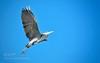 Gonna fly now... (Justin S Reid) Tags: ifttt 500px wetland rivers birds free bird distribution grey heron habitat ardea cinerea gri balıkçıl palearctic ecozone dierjscreensaver