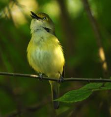 White-eyed vireo (lanaganpm) Tags: birds whiteeyedvireo