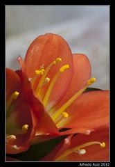 Flor (Alfredo.Ruiz) Tags: macro canon flor petalos ef100 estambres eos450d
