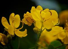 Yellow (Deb Jones1) Tags: flower nature beauty yellow canon garden botanical outdoors flora australia blooms flickrawards debjones1