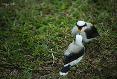 alimentando... (tiagoelidio) Tags: parque brazil verde green birds brasil minas feeding alimento pássaros sãolourenço parguedaságuas