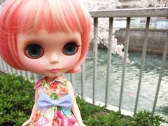 Cherry blossom petals swirl 4