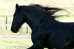 IMG_0419 (larissa_allen) Tags: horse indiana stallion equine bloomfield friesian greeneco friesianhorse greenecountyindiana friesianstallion