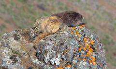 Olympic Marmot by Steve Gifford (Steve Gifford - IN) Tags: park snow june sarah washington maddie state hurricane hill steve indiana josh ridge trail national steven marmot olympic 2012 gifford haubstadt
