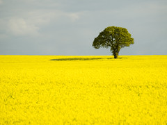 Lone Tree in a Yellow Sea (DaveKav) Tags: uk greatbritain england tree yellow unitedkingdom olympus oil nottinghamshire lonetree rapeseed e510 fieldofgold fourthirds seaofyellow herowinner blinkagain