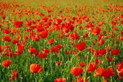 No podrs dejar de danzar en un campo de amapolas (Diego Miras) Tags: naturaleza primavera nature poppy poppies mayo montcada campodeamapolas