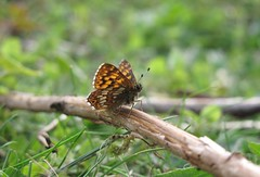 Duke of Burgundy (Hamearis lucina) (CampbellNature) Tags: dunstabledowns dukeofburgundy hamearislucina