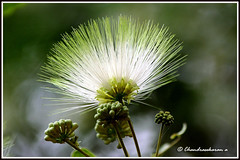 2281 - Lebbeck Tree flower-  (chandrasekaran a 546k + views .Thanks to visits) Tags: flowers india tree nature canon chennai ts albizia 60d lebbeck