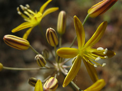 Bloomeria bronze (Jeff Goddard 32) Tags: wildflower liliaceae santaynezvalley lilyfamily morninghike goldenstars bloomeriacrocea midlandschoolproperty