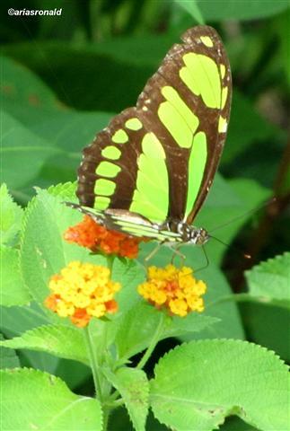 Mariposa Malachite (siproeta stelesnes)