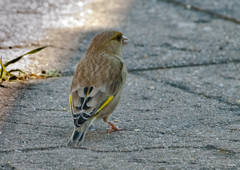 Female Greenfinch (Keith Nurney) Tags: greenfinch