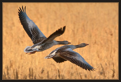 Greylag Geese (Full Moon Images) Tags: sunset bird nature flying geese wildlife bcn review flight goose national trust waterfowl fen cambridgeshire greylag woodwalton nnr greatfen