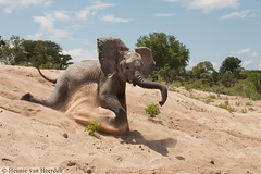 Blissfully unaware (hvhe1) Tags: africa wild baby elephant nature animal southafrica happy play wildlife safari sanddune mala olifant gamedrive duin spelen gamereserve malamala loxodontaafricana hvhe1 hennievanheerden babyolifantje