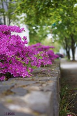 Purple Spring Street (emily.elyse) Tags: street flowers color tree brick green wall portland 50mm purple sony maine sidewalk photoaday project365 sonya57