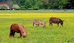 Good Grazing (Gin.nay) Tags: flowers horses horse plants cute yellow photography spring weeds farm donkeys country may donkey northcarolina pony pasture carolina shaggy clover livestock grazing colorphoto paddock elizabethcity buttercups miniturehorse canoneost3i