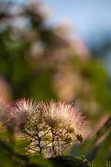 Mimosa Tree 01 (BullockStudios) Tags: pink red white flower tree green fan texas katy south feather bloom fiber mimosa