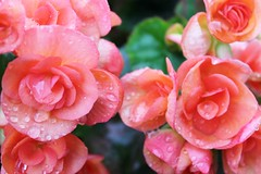 Beauty & Rain (bigbrowneyez) Tags: flowers nature wet beautiful rain diamonds droplets dof bokeh blossoms crying natura fresh glossy lovely fiori pioggia gems begonias delightful shimmer teardrops bellissimi bealli beautyrain