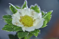 FLOR DE FRESA (Galvéz Espinosa Photograpy) Tags: detalle flower color macro water agua nikon d flash flor lila gotas micro 28 mm af 105 nikkor f28 d800 fresa morado petalos pistilo nikkor105 nikond800 nikkorafmicro105mmf28 nikonaf105 nikkoraf105micro
