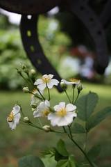 E' cessata la pioggia (diemmarig) Tags: rosa normalis rosabanksiaenormalis banksiae radiolondra rosabanksiaealba