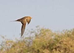 Pallas's Sandgrouse (Baractus) Tags: 2 john desert wildlife mongolia els gobi oates speyside pallass sandgrouse khongorin juulchin