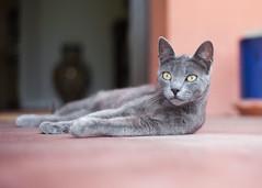 Sevillian Cat... (Lady Haddon) Tags: cat greycat