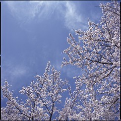 Spring sky  (HASSELBLAD 500C/M) (potopoto53age) Tags: pink flowers blue sky cloud plant flower tree 6x6 film apple japan zeiss photoshop mediumformat square spring aperture flickr bluesky hasselblad adobe squareformat carl pinkflower   sakura epson fujifilm f28 reala yamanashi planar kofu 80mm 500cm hassel  hasselblad500cm appleaperture nont  cs6 flickrcolor fujifilmreala springsky kofucastle  epsongtx970 gtx970  potopoto53age betterscanning dualmffilmholder betterscanningdualmffilmholder carlzeissplanar80mmf28nont adobephotoshopcs6