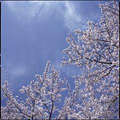 Spring sky  (HASSELBLAD 500C/M) (potopoto53age) Tags: pink flowers blue sky cloud plant flower tree 6x6 film apple japan zeiss photoshop mediumformat square spring aperture flickr bluesky hasselblad adobe squareformat carl pinkflower 桜 日本 sakura epson fujifilm f28 reala yamanashi planar kofu 80mm 500cm hassel サクラ hasselblad500cm appleaperture nont 山梨県 cs6 flickrcolor fujifilmreala springsky kofucastle 甲府市 epsongtx970 gtx970 甲府城 potopoto53age betterscanning dualmffilmholder betterscanningdualmffilmholder carlzeissplanar80mmf28nont adobephotoshopcs6