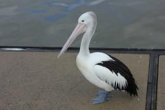 Pelican at Noosa Marina (Gillian Everett) Tags: australia pelican queensland noosariver pelecanus australianpelican pelecanusconspicillatus conspicillatus tewantin sooc noosamarina noosaharbour